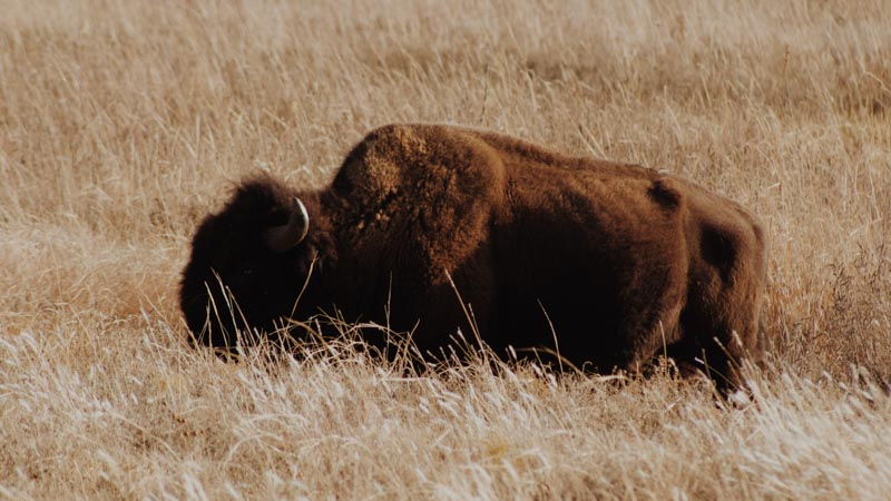A buffalo during the day in Oklahoma